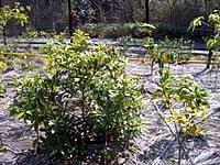 07年春植えの苗(静岡第二工場)