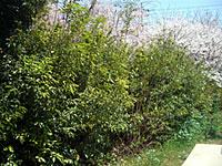 05年春植えの苗 (つくば工場)