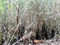 アズマネザサの繁茂 (植林前)