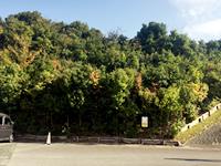 2008年3月植樹の現在(2017.11.24撮影)