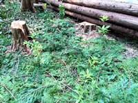 間伐材の葉のマルチングで植樹完了