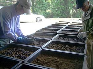 3月、土中に保管しておいた種をトロバコに播種